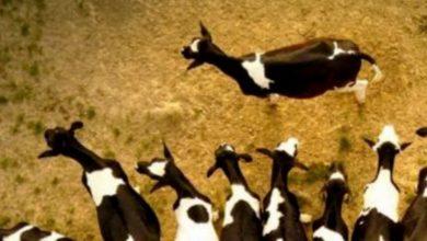 hewan kurban, penyembelihan kurban dan penjualan kulitnya