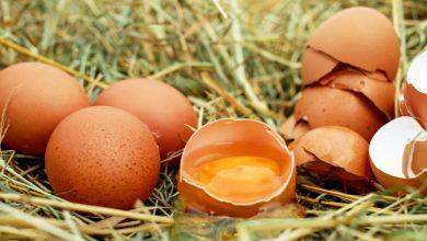 hukum mengonsumsi telur dari ayam yang sudah mati